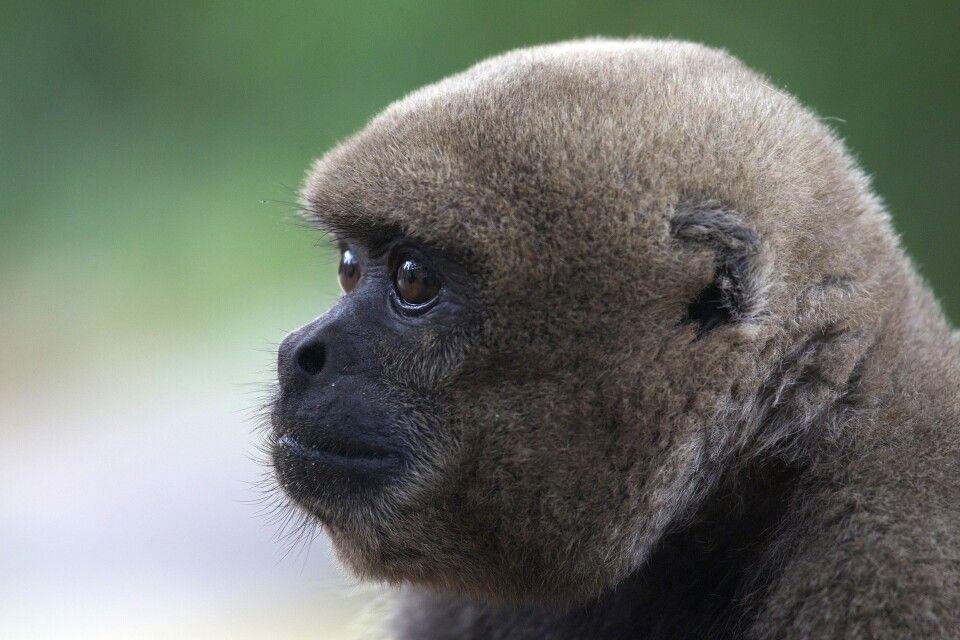 Wollaffe im Amazonas