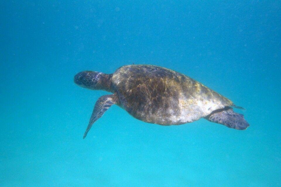 Meeresschildkröte beim Galapagos-Archipel