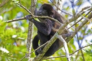 Affe über die Schulter blickend
