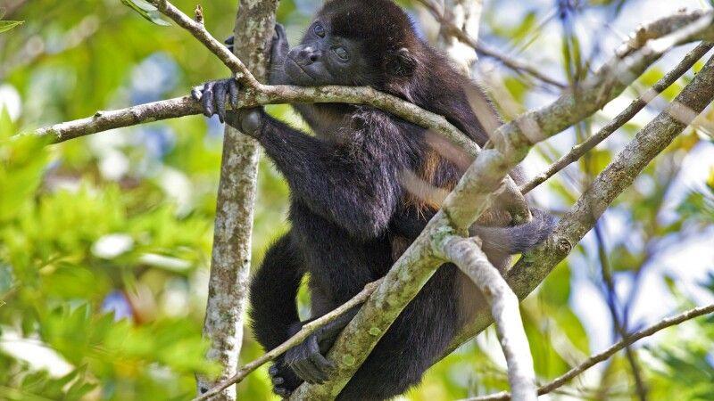Affe über die Schulter blickend © Diamir