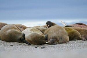 Die Kolonie Walrosse ruht am Strand