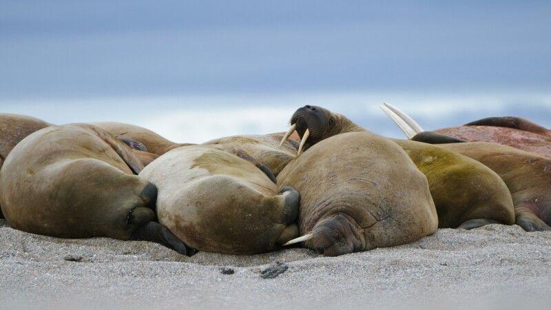 Die Kolonie Walrosse ruht am Strand © Diamir