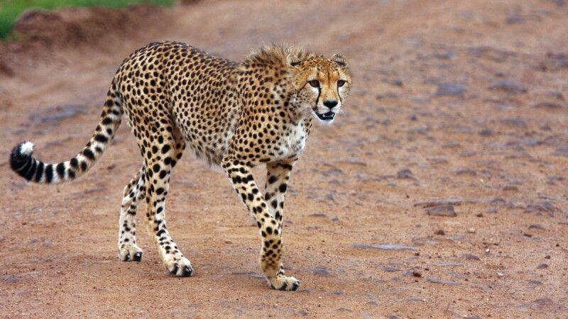 Gepard – elegant und schnell © Diamir
