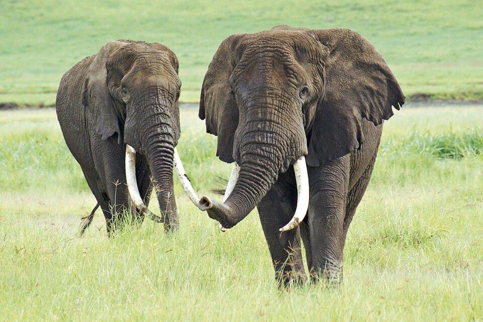 Imposante Elefantenbullen