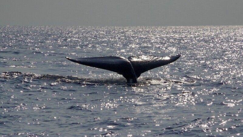 Blauwal vor der Küste Mirissas © Diamir
