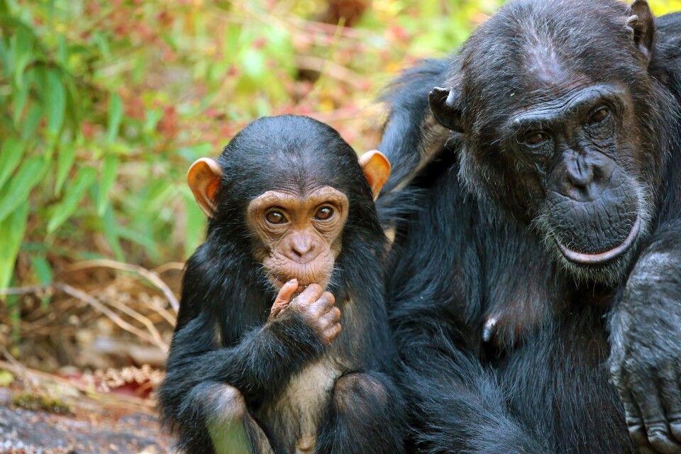 Schimpanse mit Jungtier
