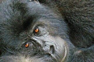 nachdenklicher Gorilla