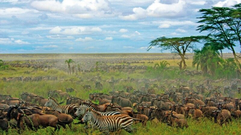 Zebras und Gnus in der Savanne © Diamir