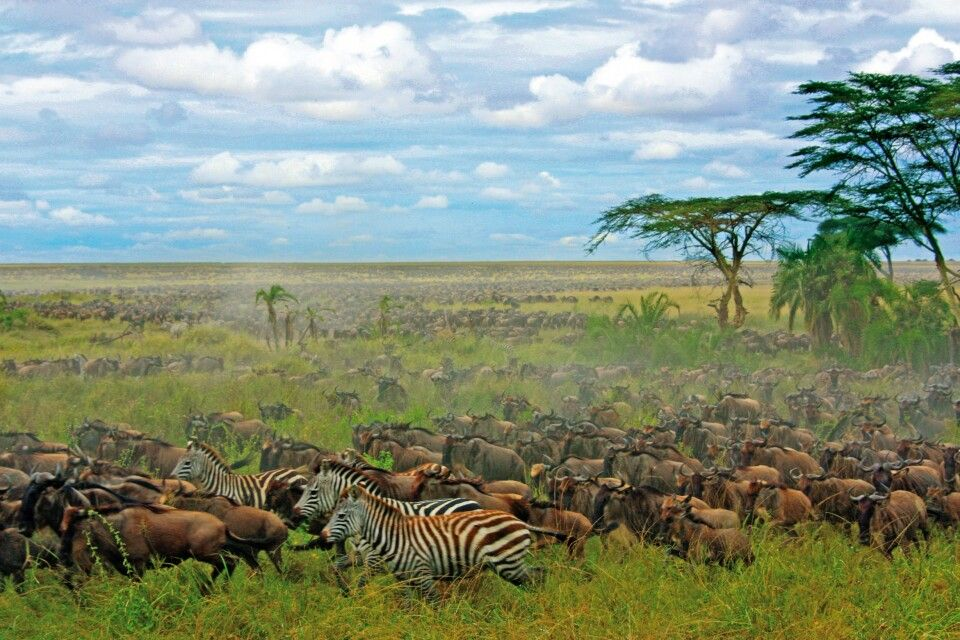 Zebras und Gnus in der Savanne
