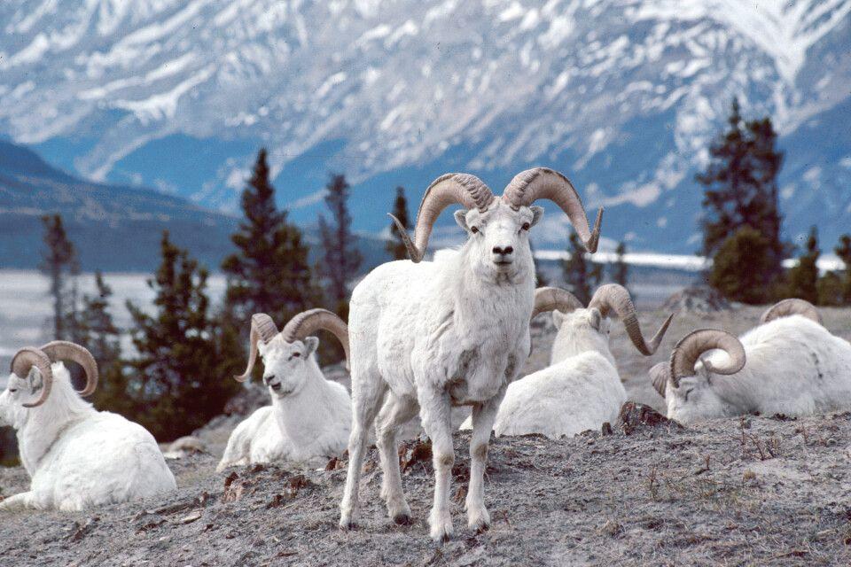 Die seltenen, schneeweißen Dallschafe