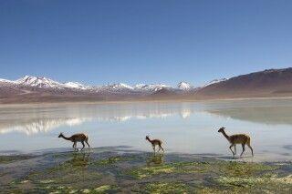 Vicuñas an der Laguna Blanca