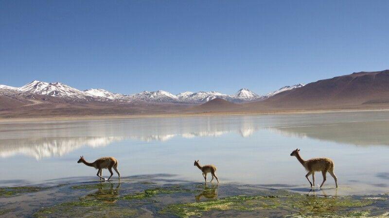 Vicuñas an der Laguna Blanca © Diamir