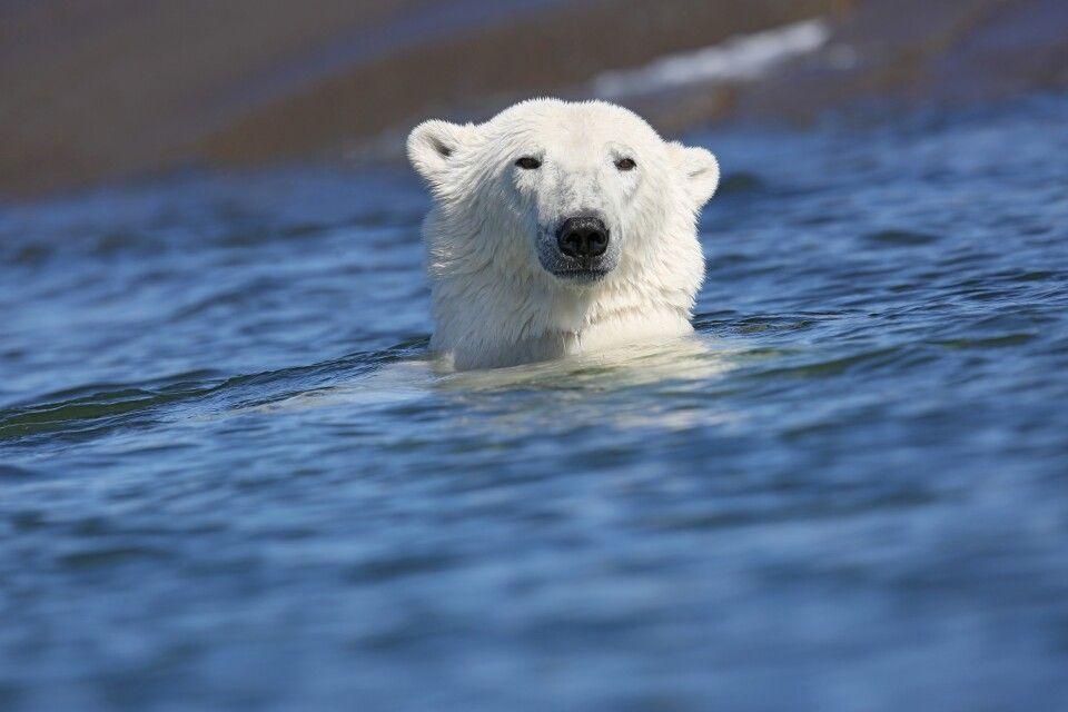 Stolzer Eisbär im Wasser