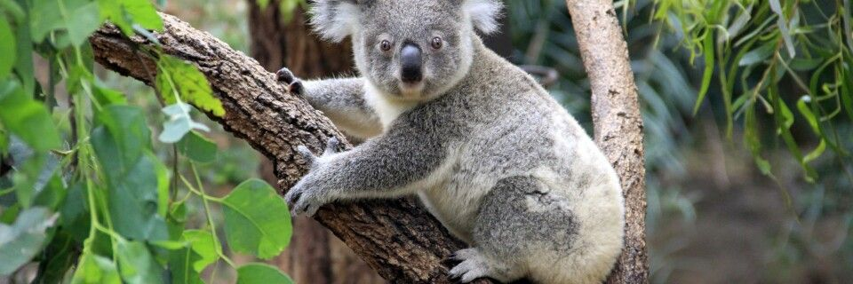 Koala im Grampian Nationalpark
