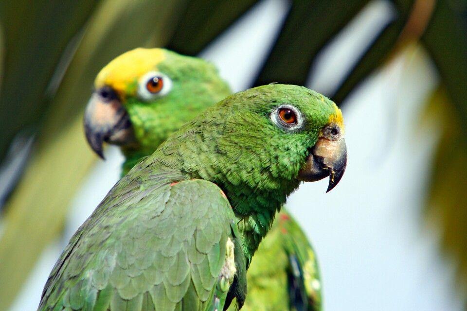 Zwei Amazonenpapageien