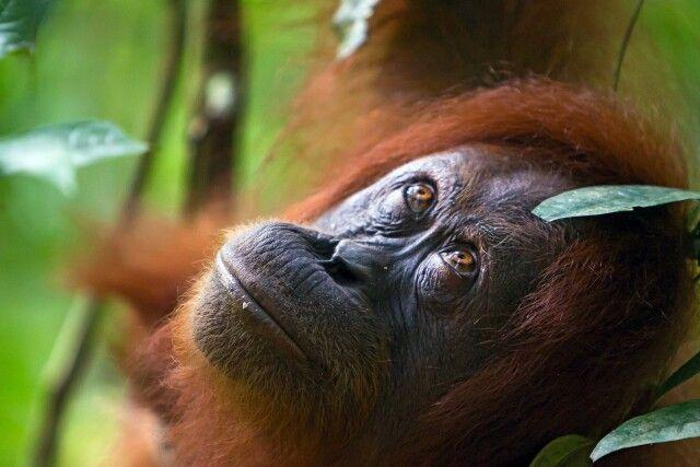 Orang-Utan-Weibchen im Gunung Leuser NP auf Sumatra