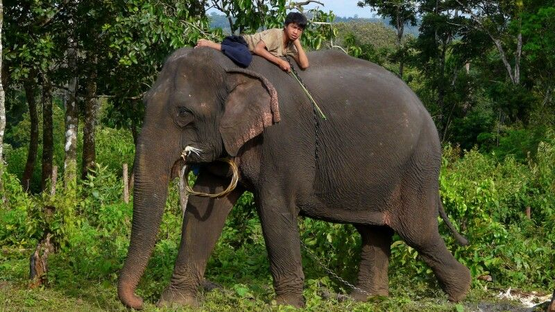 Elefant mit Mahut in der Provinz Mondulkiri © Diamir