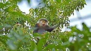Grauschenkliger Kleideraffe (Pygathrix cinerea)