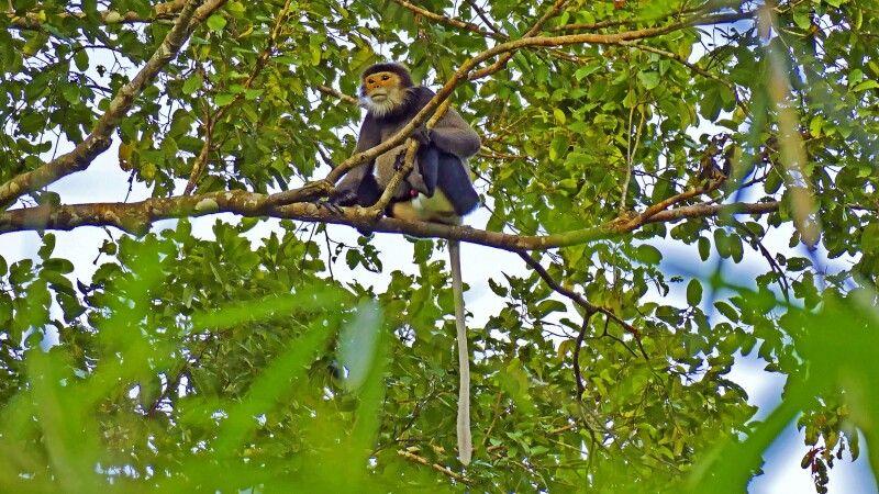 Grauschenkliger Kleideraffe (Pygathrix cinerea) © Diamir