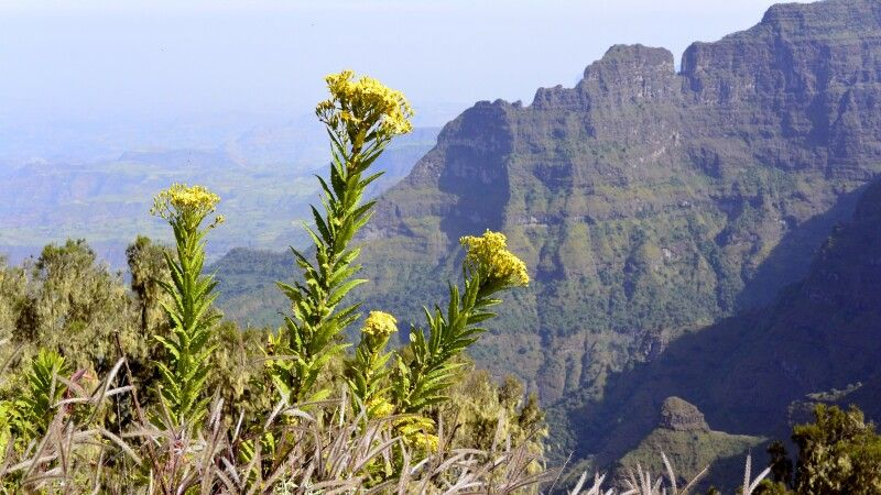 Blumen im Simien Nationalpark © Diamir