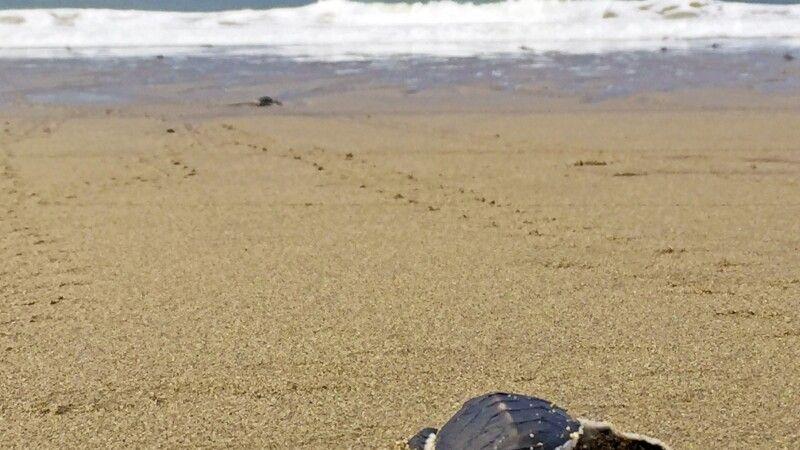 Schildkröte am Strand von Sukamade © Diamir