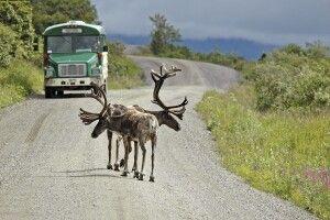 Karibus spazieren auf der Straße im Denali NP