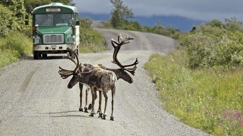 Karibus spazieren auf der Straße im Denali NP © Diamir