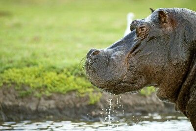 Flusspferd, Chobe