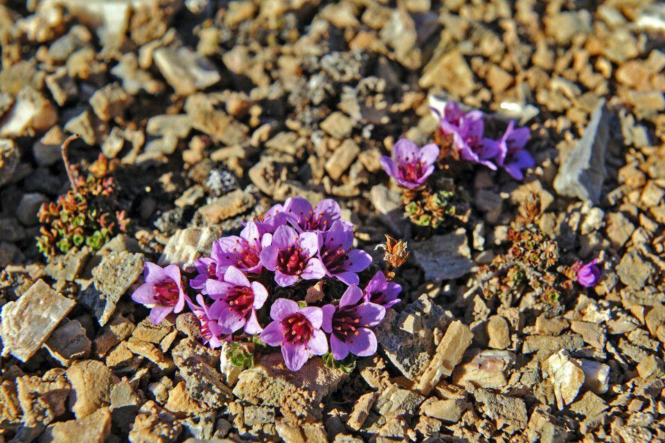 Ab Juni blühen die zarten Steinbrech-Pflänzchen