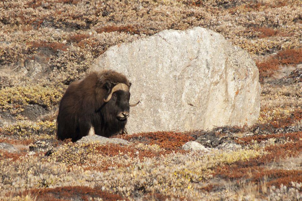 Moschusochse in der herbstlichen Tundra von Ostgrönland