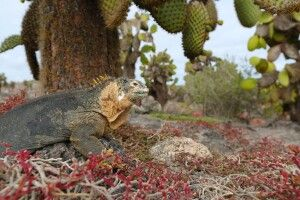 In gelassener Ruhe wartet dieser Landleguan, bis vom Kaktus mal wieder eine Blüte herunterfällt. Dann ist das große Fressen angesagt! Ein Geduldsspiel. Bei unseren zwei Stunden an Land geht es etwas schneller zu…