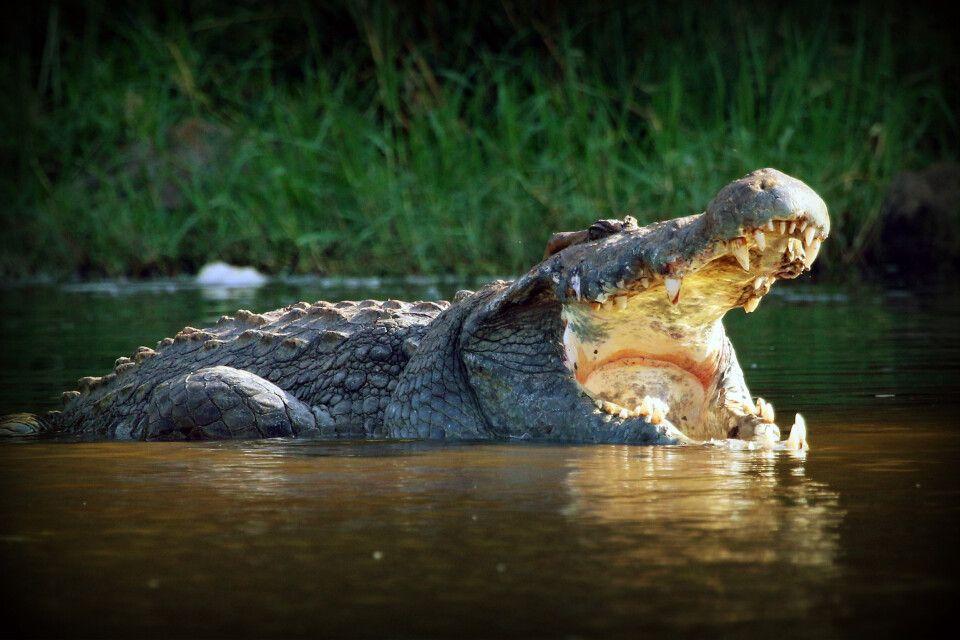 Das mächtige Gebiss eines Krokodils