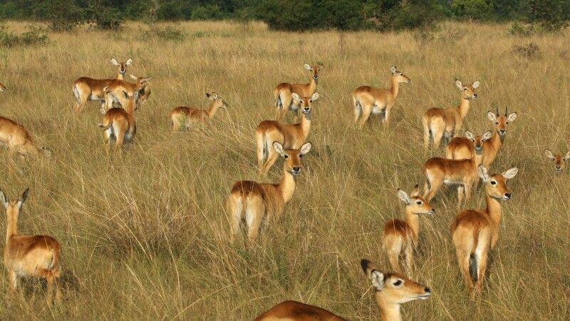 Uganda-Kobs © Diamir