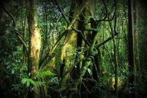 Im dichten Wald des Bwindi NP