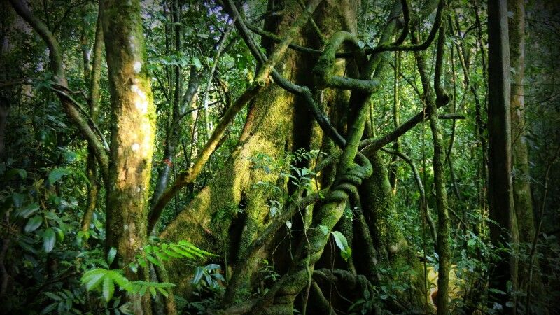 Im dichten Wald des Bwindi NP © Diamir