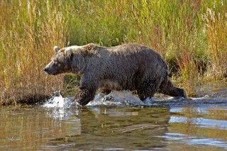Grizzly streift am Flussufer entlang