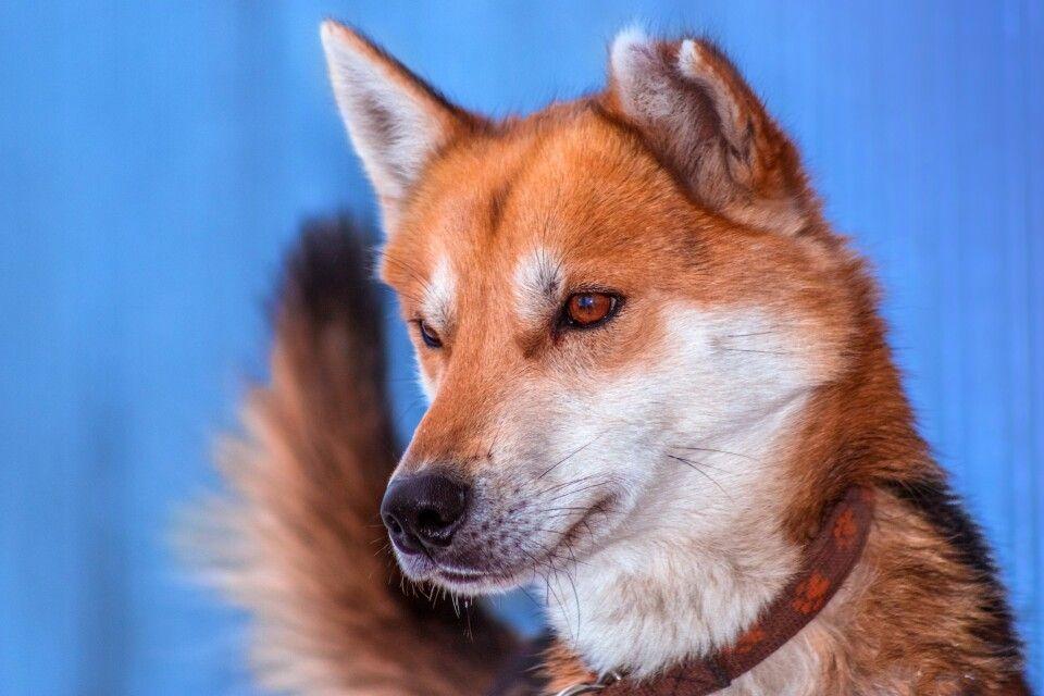 Porträt des Huskys namens Ulvang