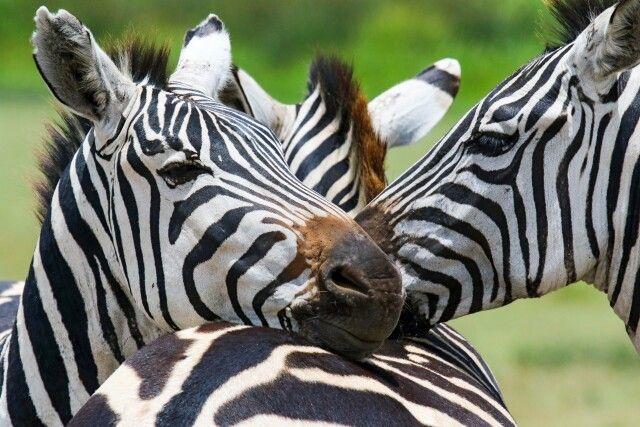 Zebras in Nahaufnahme