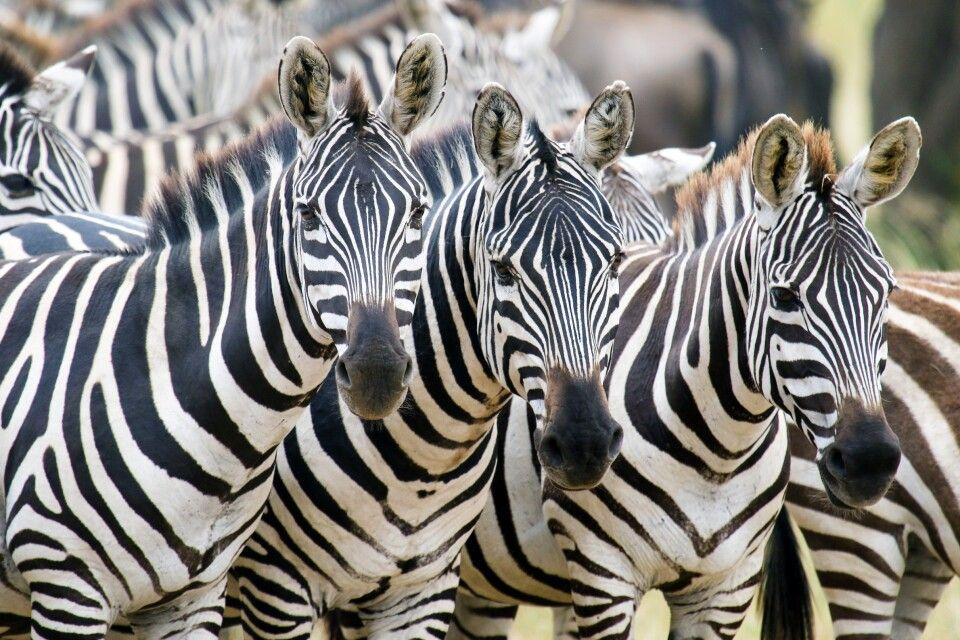 Eine Herde Zebras