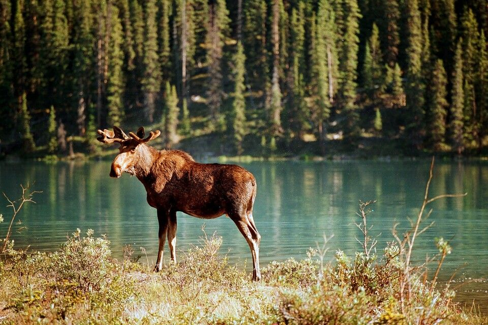 In den Nationalparks Westkanadas kann man überall Elchen begegnen
