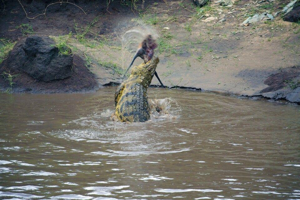 Nicht schön, aber schön dynamisch….   Dieses Krokodil zerfetzt seine Beute in handliche Stücke, einfach durch schnelle Bewegungen und unter Zuhilfenahme der Wasseroberfläche. Beeindruckender Moment einer Fotoreise, auch wenn das Licht und das Umfeld nicht besonders beeindruckend sind…