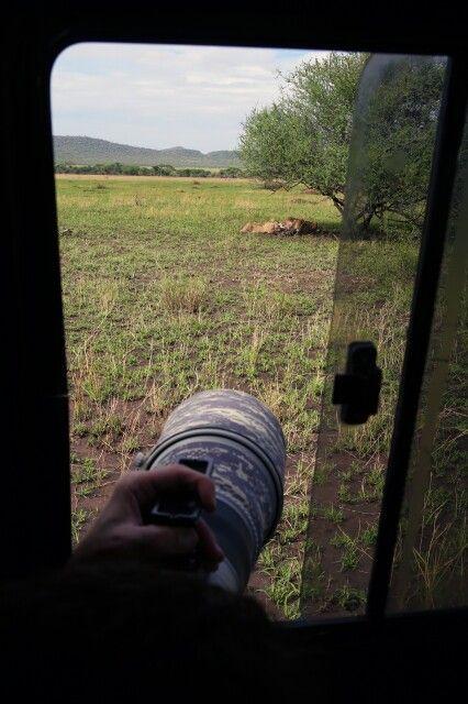 Arbeitsbedingungen auf einer Fotoreise in der Serengeti. Zwei Löwen sitzen im Schatten eines Strauches und laben sich am gerissenen Zebra. Nun ist es die Herausforderung des Fotografen, im richtigen Moment und den richtigen Bildausschnitt auswählend, ein packendes Bild zu fotografieren. Bohnensack und möglichst tiefer Standpunkt im Auto schaffen beste Voraussetzungen.