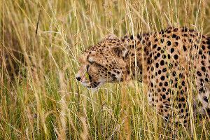 Ein Gepard in der Masai Mara