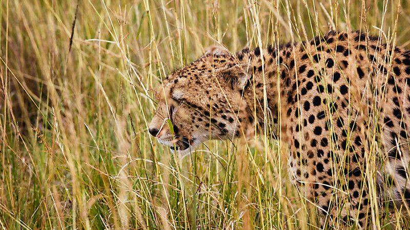 Ein Gepard in der Masai Mara © Diamir