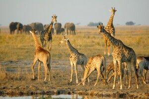 Giraffen und Elefanten in Botswana