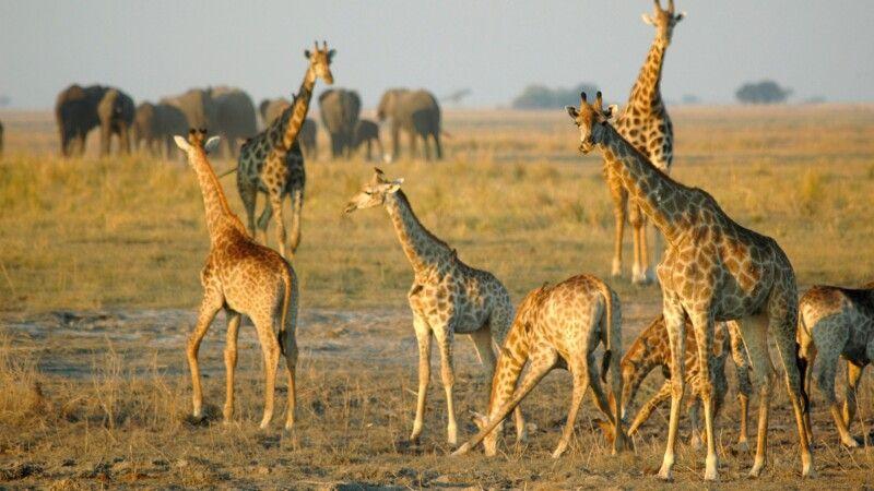 Giraffen und Elefanten in Botswana © Diamir