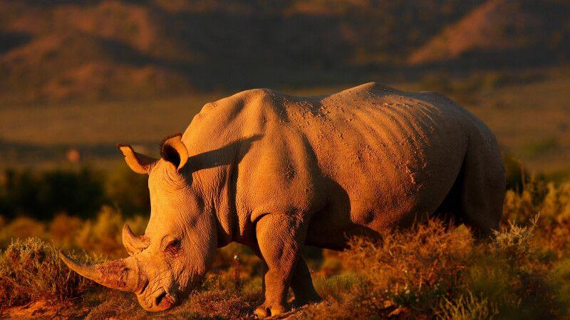 Nashorn im Abendlicht © Diamir