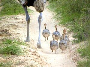 Straußenfamilie in der Steppe