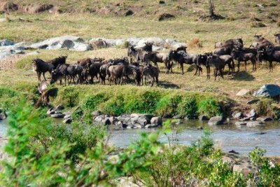 Tansania: Gnus