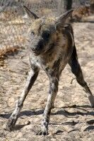 Hwange NP: Wildhund im Painted Dog Conservation Centre